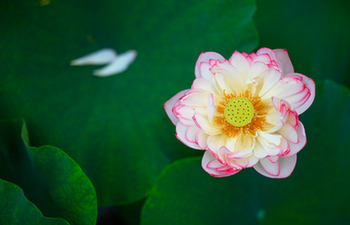 In pics: Lotus flowers at Baiyangdian Lake in Xiongan New Area